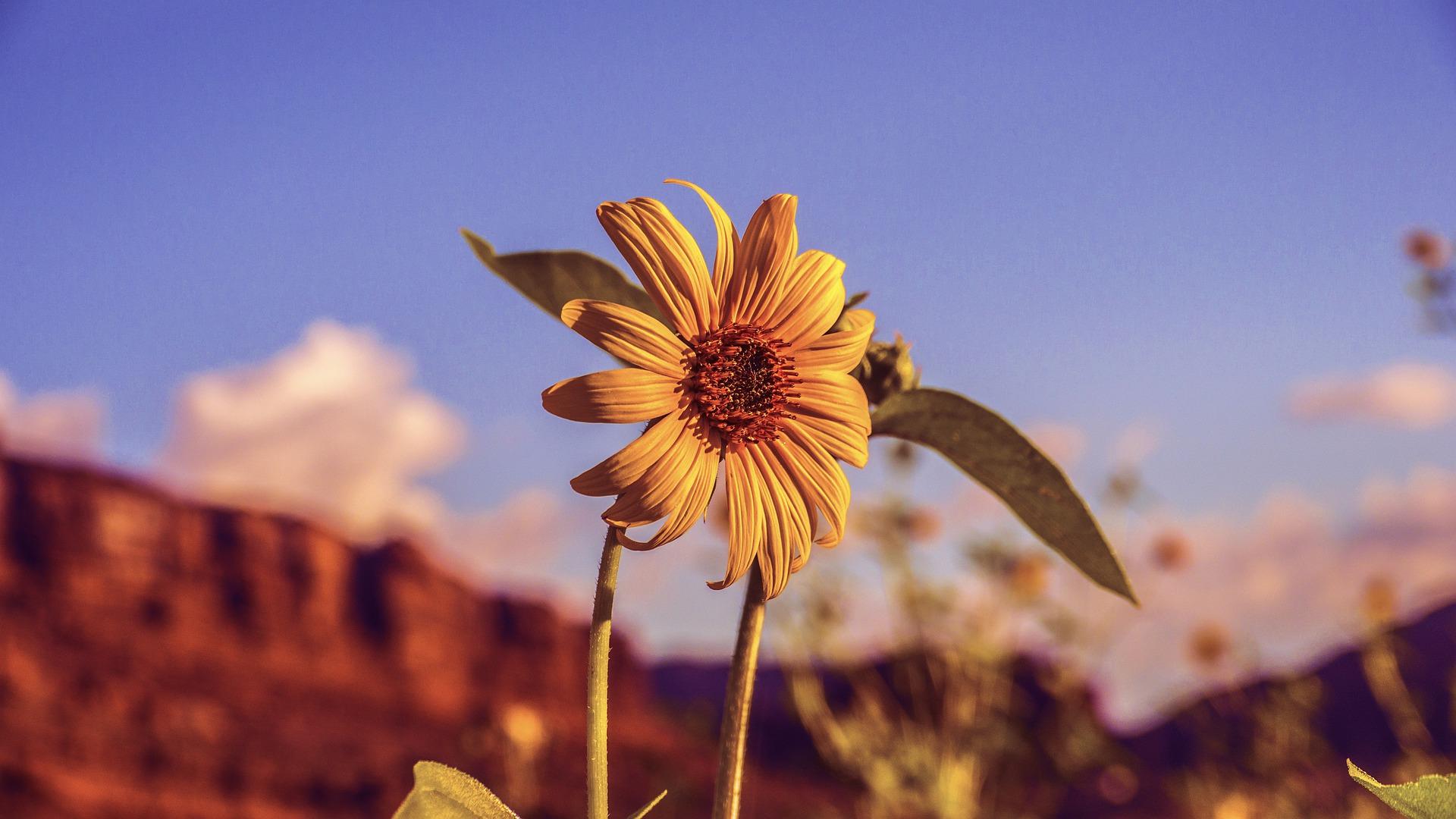 sunflower-4320790_1920