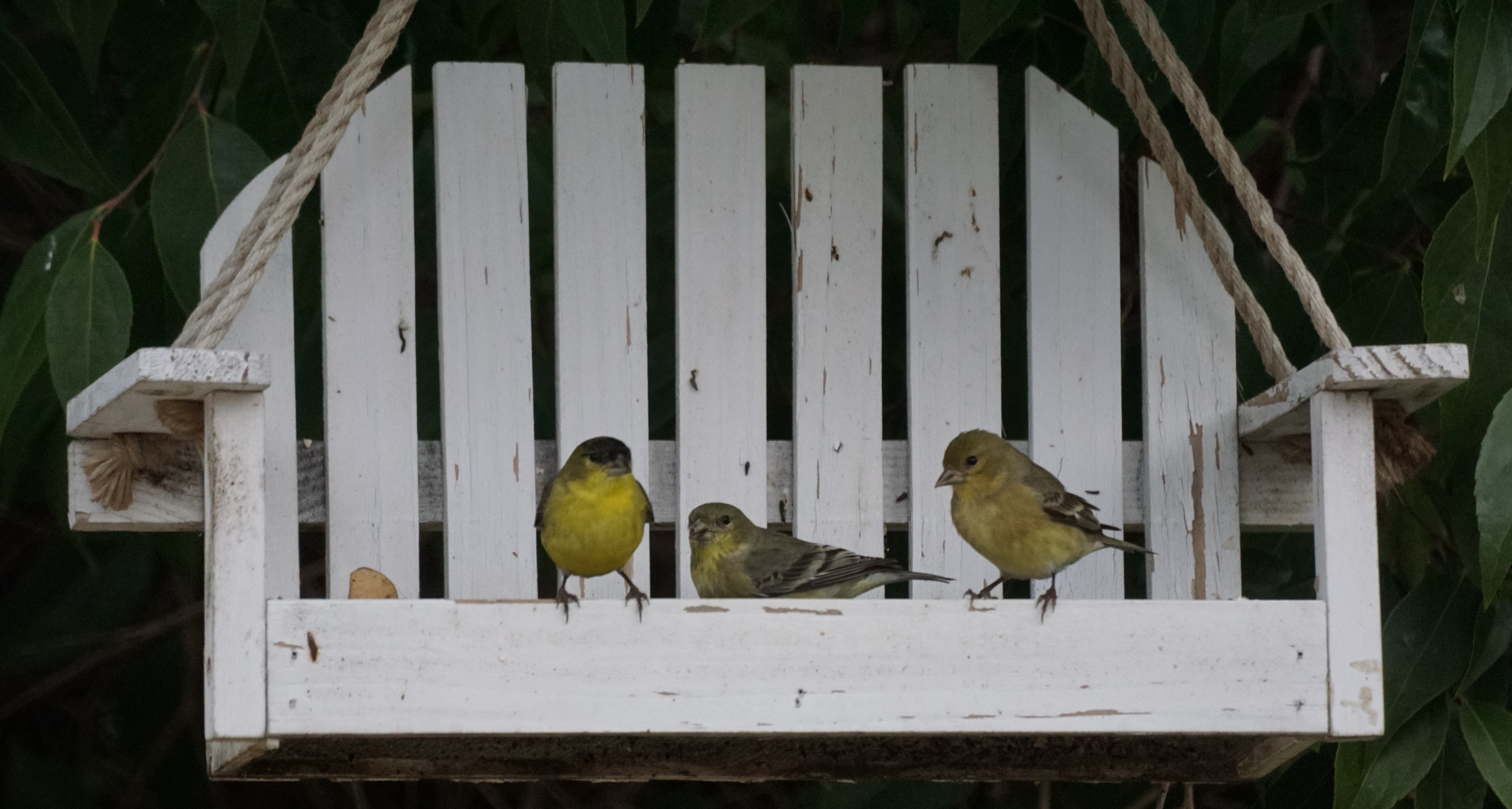 Goldfinches_on_the_porch_swing_feeder_(23673936654)