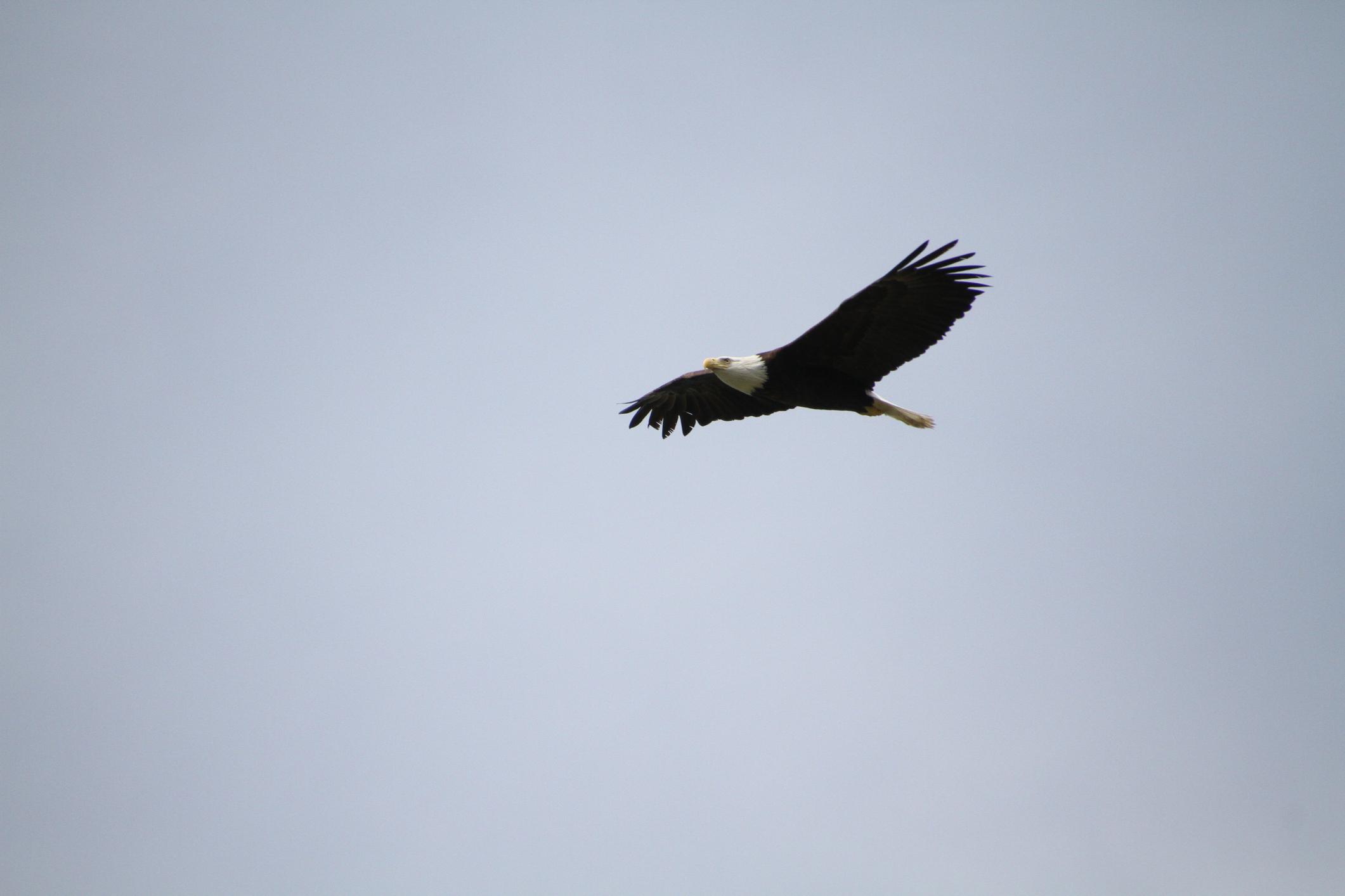 eagle david osmond licensed