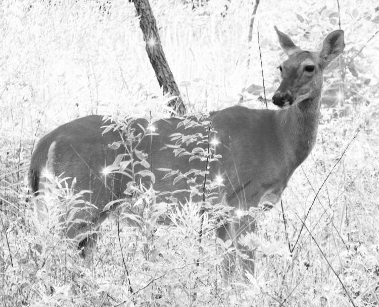 deer-17830_1920 copy