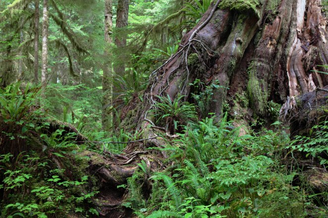 Rainforests_of_Pacific_Rim_National_Park_Reserve,_Canada