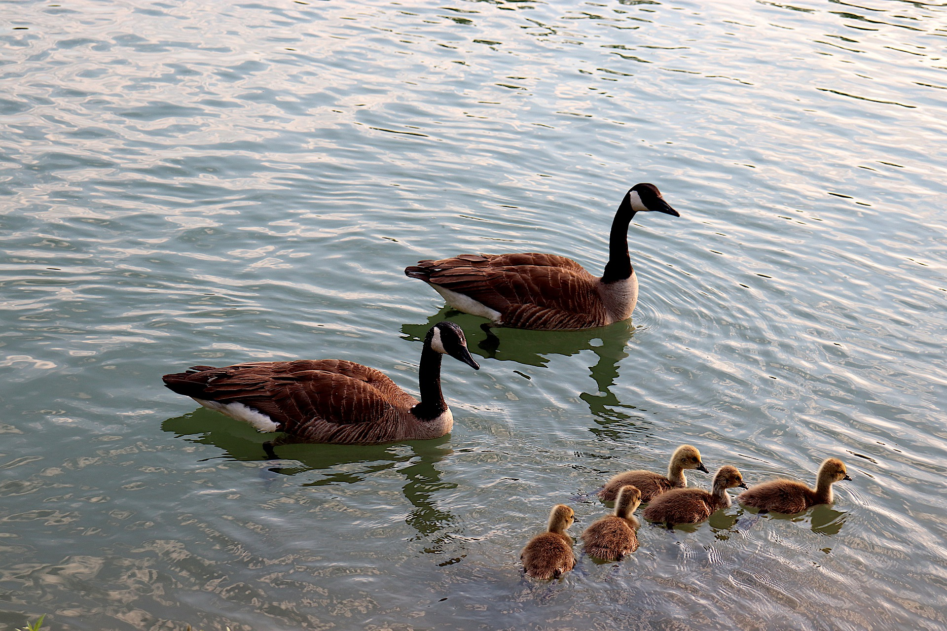 geese-5254694_1920