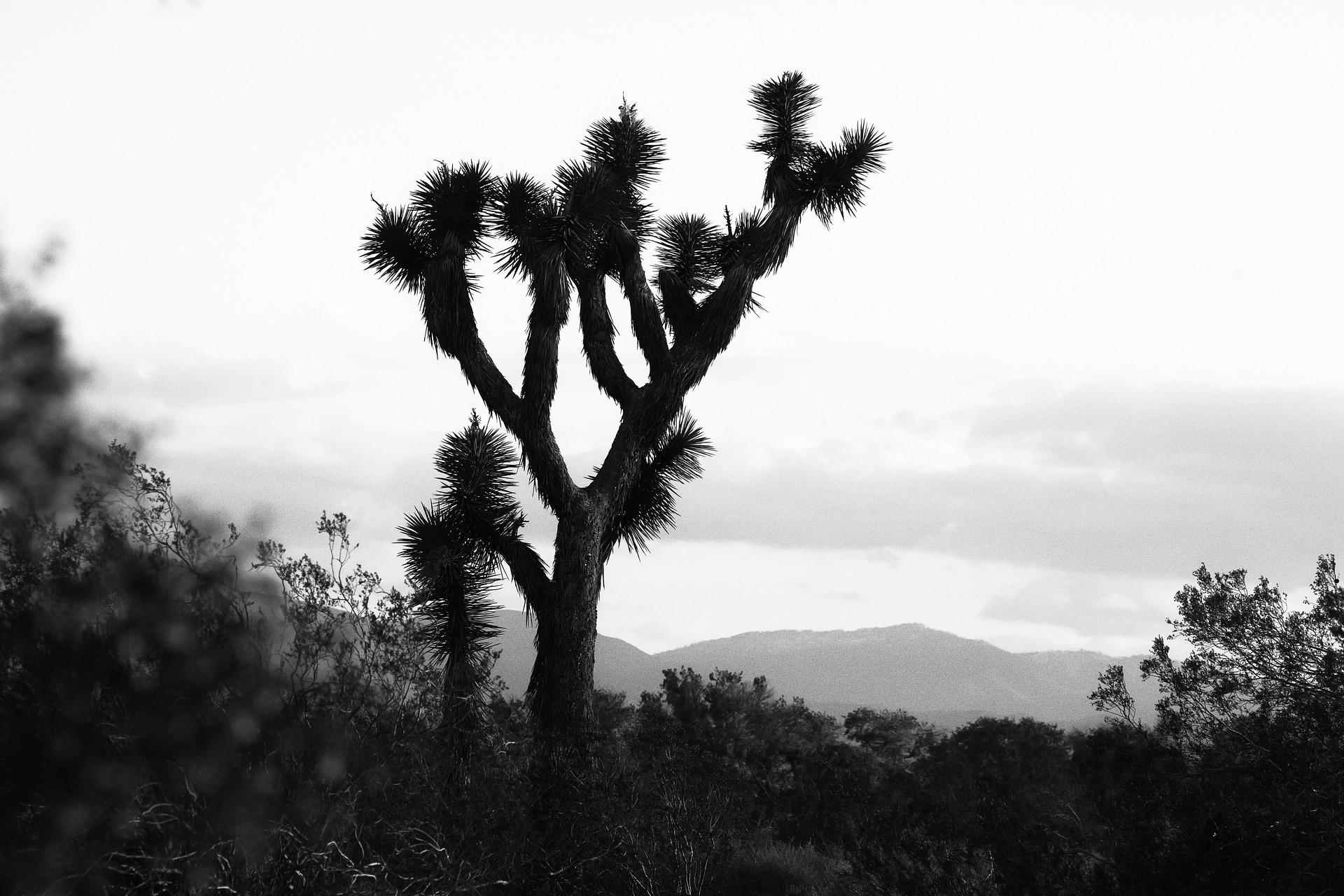 joshua-tree-841335_1920