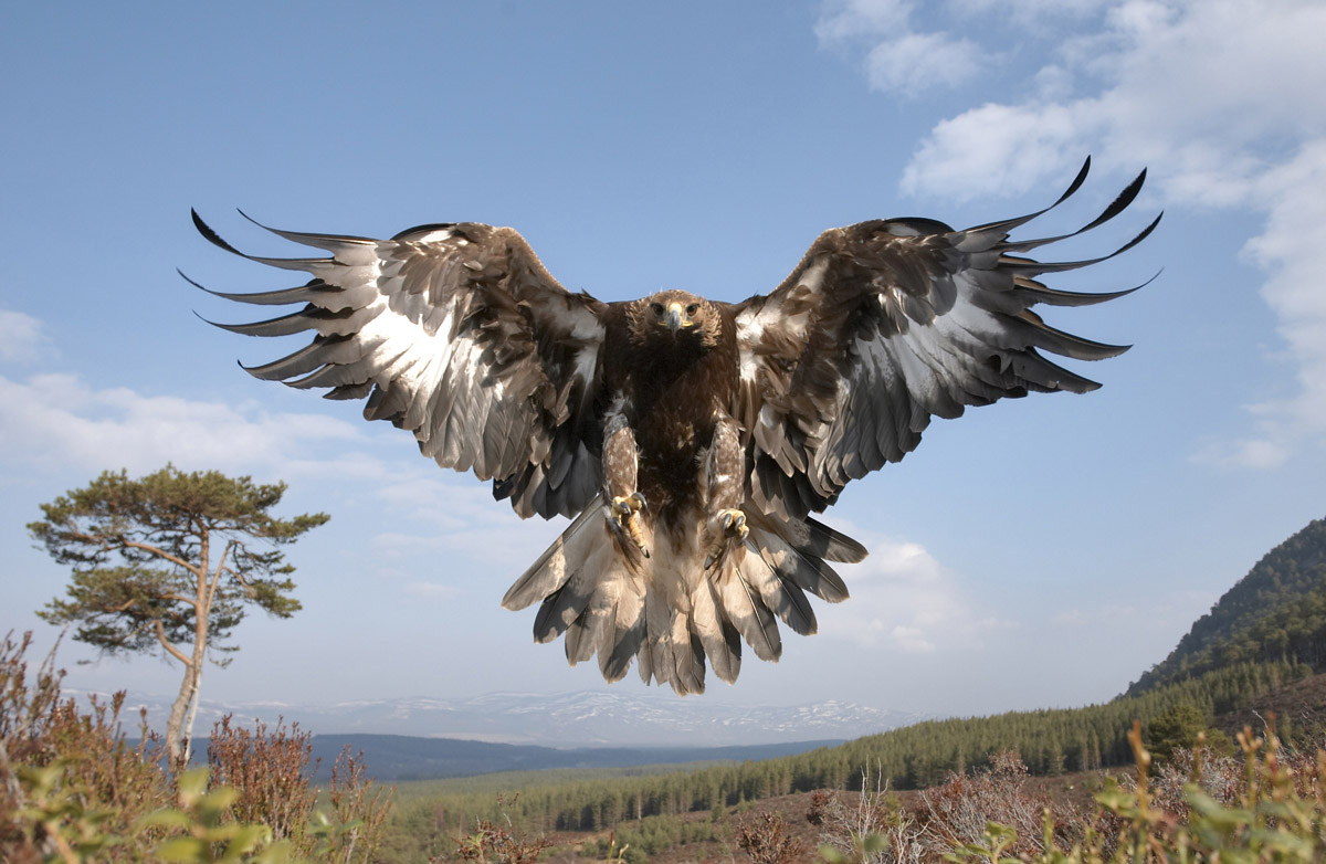 golden-eagle- 02